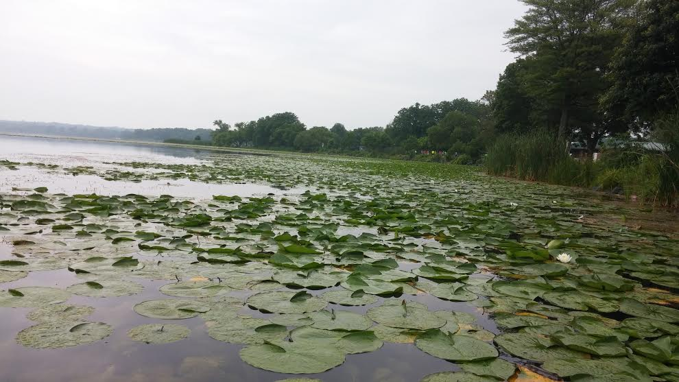 WIS LILY PADS